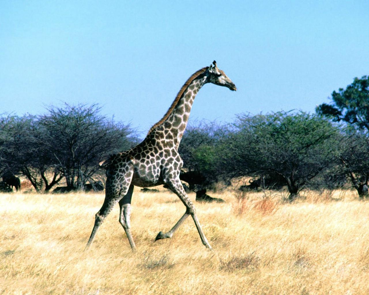1024长颈鹿 10壁纸,长颈鹿壁纸图片 -长颈鹿 2 10