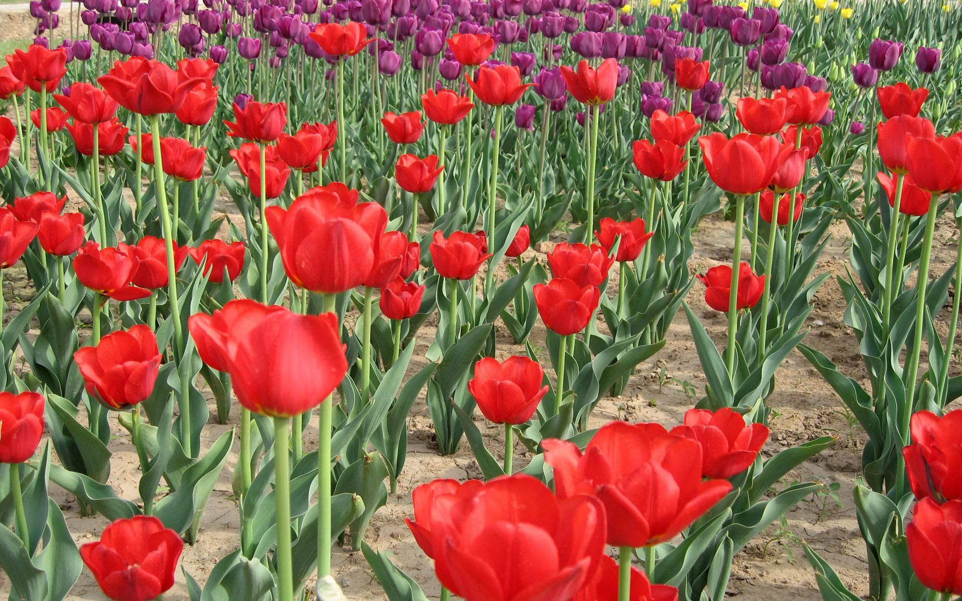 壁纸1920×12001920郁金香 4 18壁纸 1920郁金香壁纸图片花卉壁纸花卉图片素材桌面壁纸