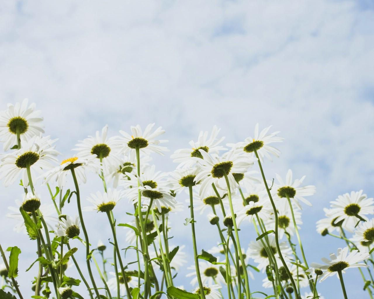 壁纸1280×1024白色花朵 3 14壁纸 白色花朵壁纸图片花卉