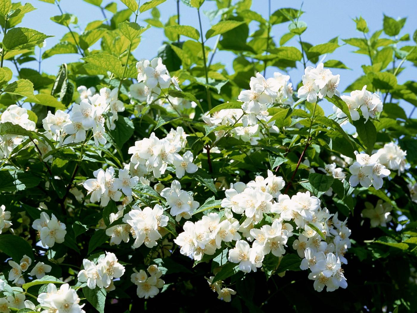 壁纸1400×1050白色花朵 4 20壁纸 白色花朵壁纸图片花卉壁纸花卉图片素材桌面壁纸