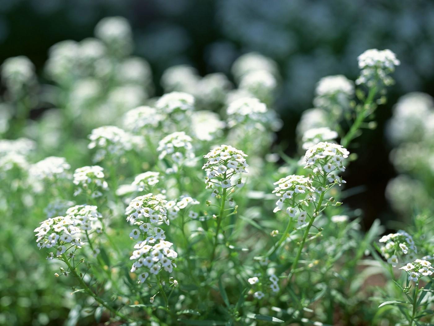 壁纸1400×1050白色花朵 4 19壁纸 白色花朵壁纸图片花卉壁纸花卉图片素材桌面壁纸