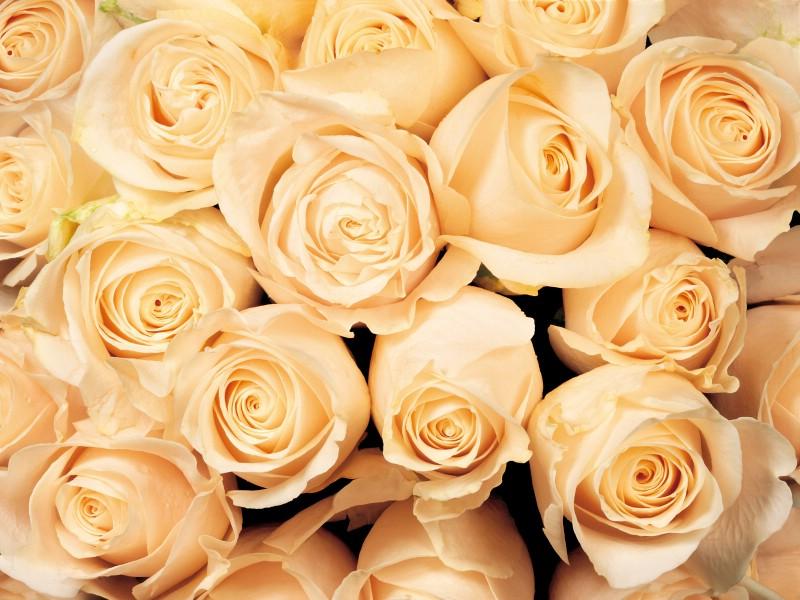 壁纸800×600玫瑰写真 5 1壁纸 玫瑰写真壁纸图片花卉壁纸花卉图片素材桌面壁纸
