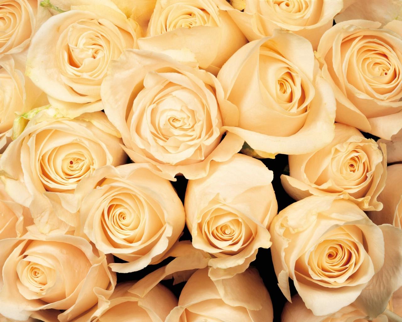 壁纸1280×1024玫瑰写真 5 1壁纸 玫瑰写真壁纸图片花卉壁纸花卉图片素材桌面壁纸