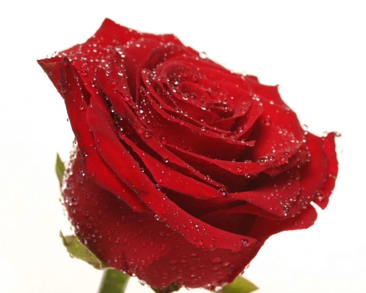 壁纸1280×1024玫瑰写真 6 11壁纸 玫瑰写真壁纸图片花卉壁纸花卉图片素材桌面壁纸
