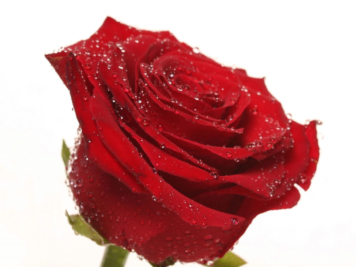 壁纸1400×1050玫瑰写真 6 11壁纸 玫瑰写真壁纸图片花卉壁纸花卉图片素材桌面壁纸