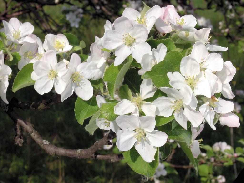 壁纸1024×768白色花朵 1 9壁纸 鲜花特写 白色花朵 第一辑壁纸图片花卉壁纸花卉图片素材桌面壁纸