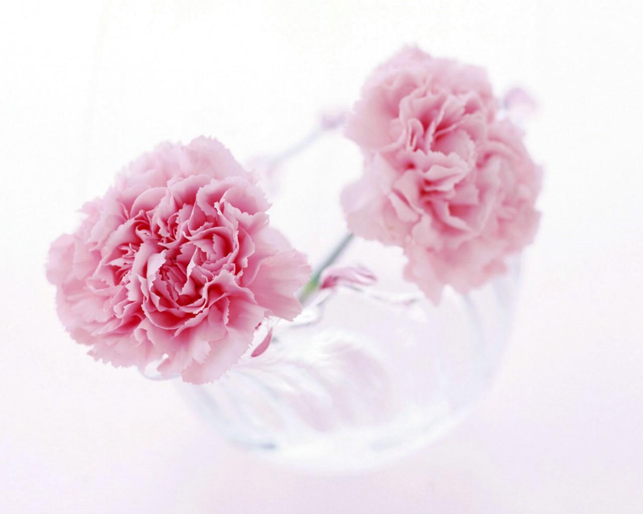 壁纸1280×1024母亲节康乃馨 1 18壁纸 鲜花特写 母亲节康乃馨 第一辑壁纸图片花卉壁纸花卉图片素材桌面壁纸