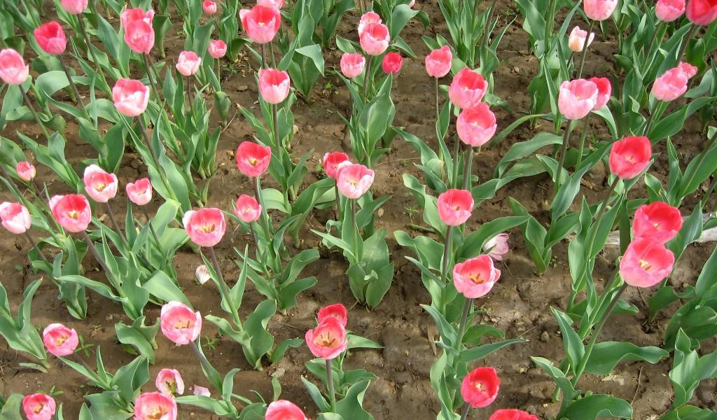 壁纸1024×6001920郁金香 1 16壁纸 郁金花香 1920郁金香 第一辑壁纸图片花卉壁纸花卉图片素材桌面壁纸