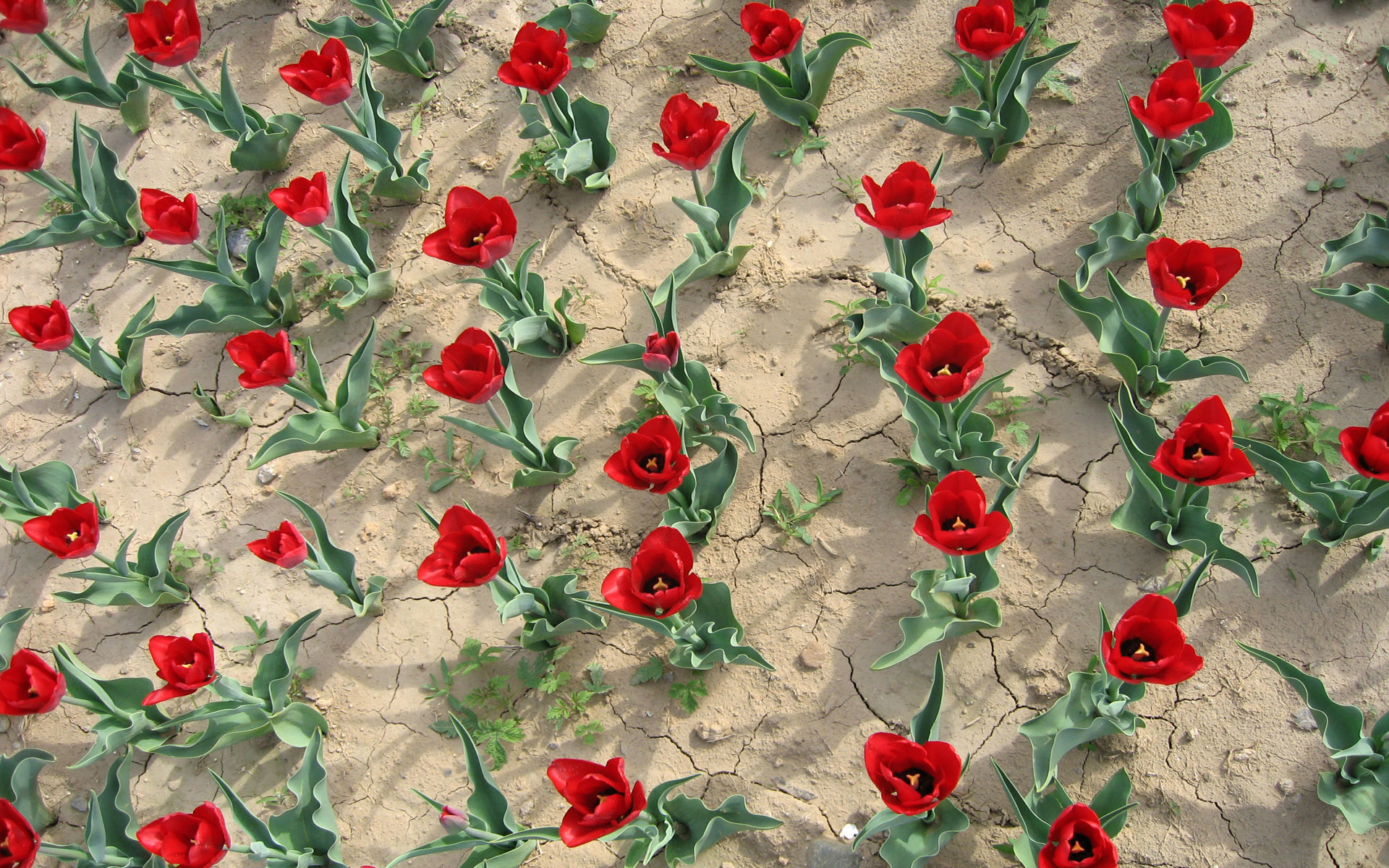 壁纸1920×12001920郁金香 1 7壁纸 郁金花香 1920郁金香 第一辑壁纸图片花卉壁纸花卉图片素材桌面壁纸
